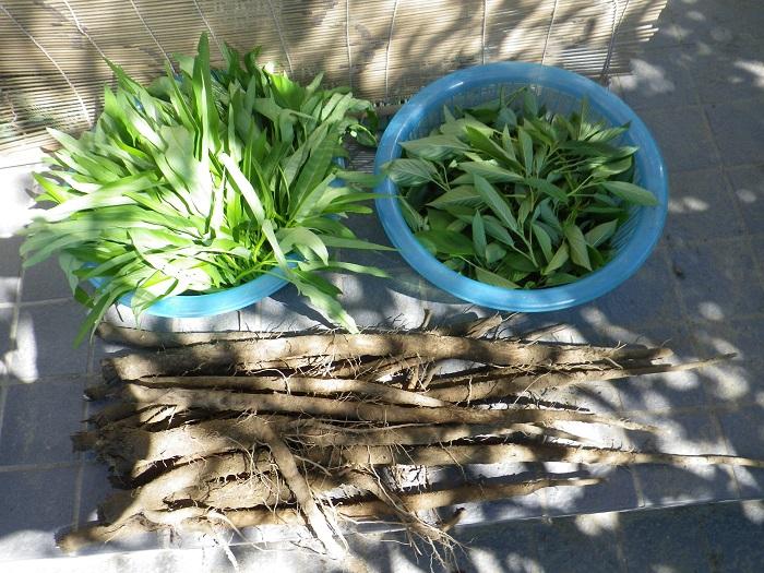 収穫葉物14_09_14