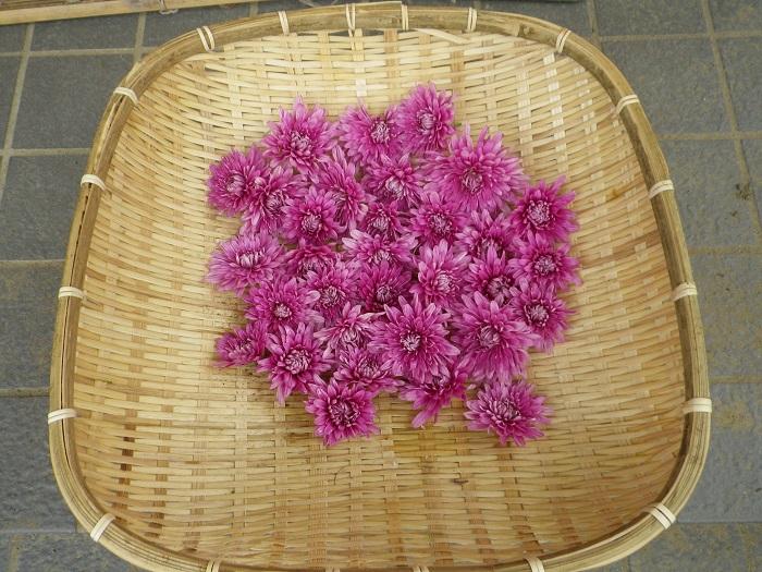 食用菊収穫14_09_15