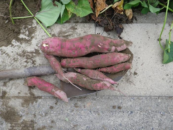 サツマイモ収穫14_09_15