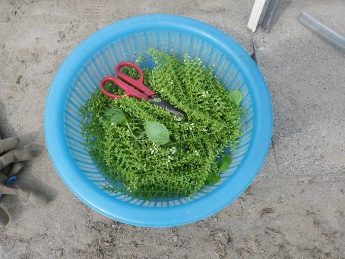 収穫穂紫蘇14_09_15