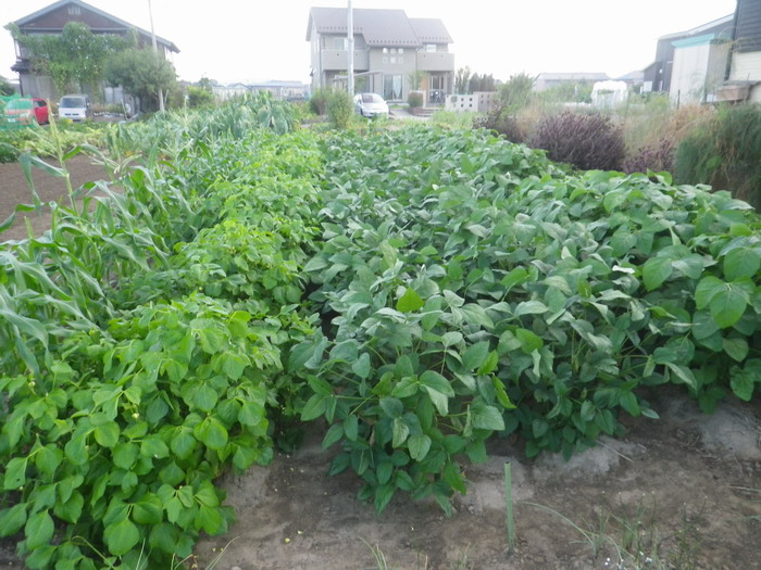 豆畑14_09_17