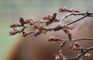 5・キング・桜のつぼみ