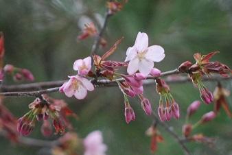 5・祝・桜咲く