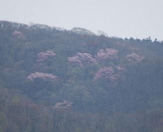 5・ワー・山の桜