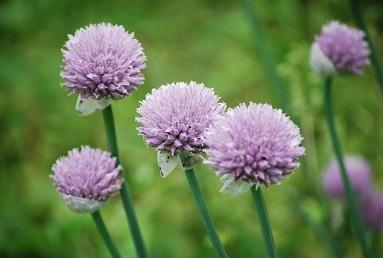 6・アスカ・アサツキの花