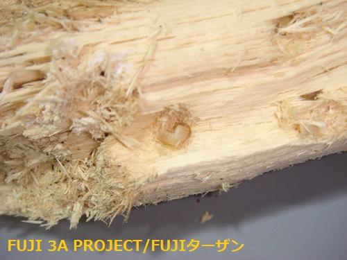 阿古谷F3幼虫