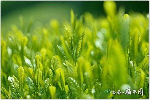 shincha2014-04.jpg
