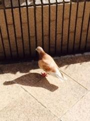素敵な鳩2