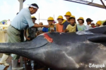 Whalers-kill-whale-for-school-children.png