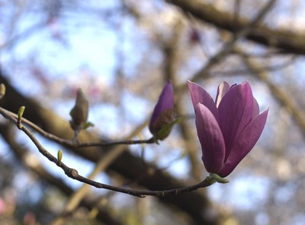 紫木蓮02
