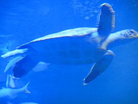 京都水族館のウミガメ