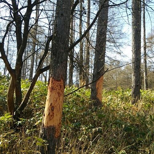 木の皮がない。。