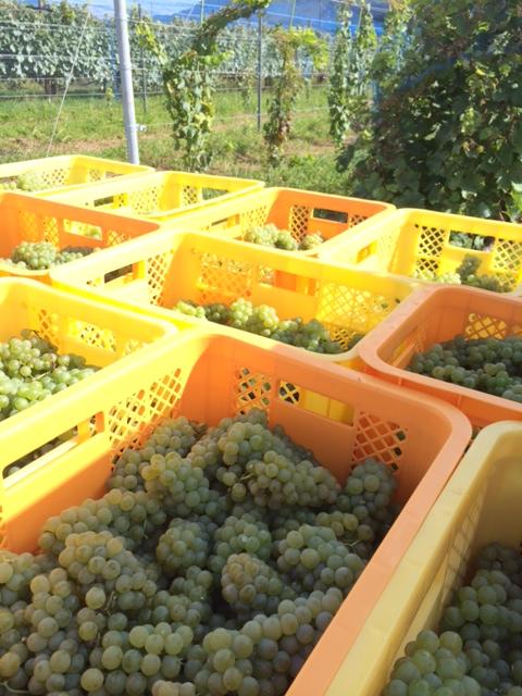 2014 09 11-3収穫