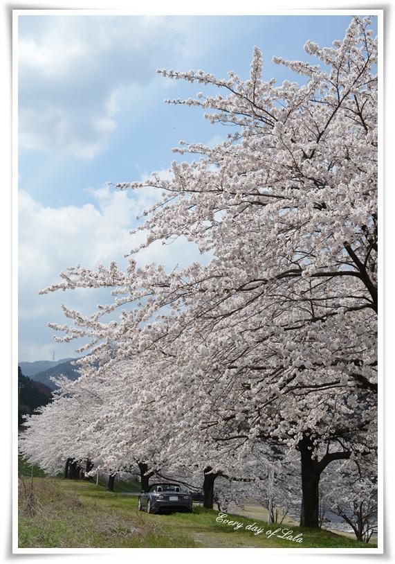 桜並木201404