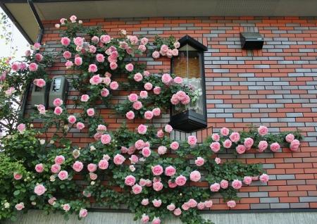 No11 壁面のピエール ドゥ ロンサール 6468 (450x318)