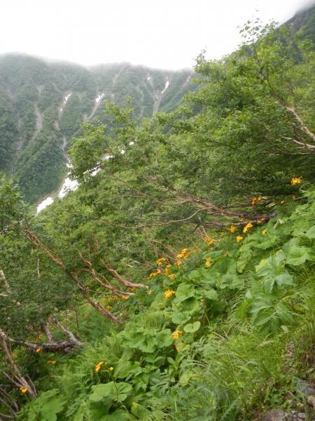 北岳・間ノ岳 055マルバダケブキ