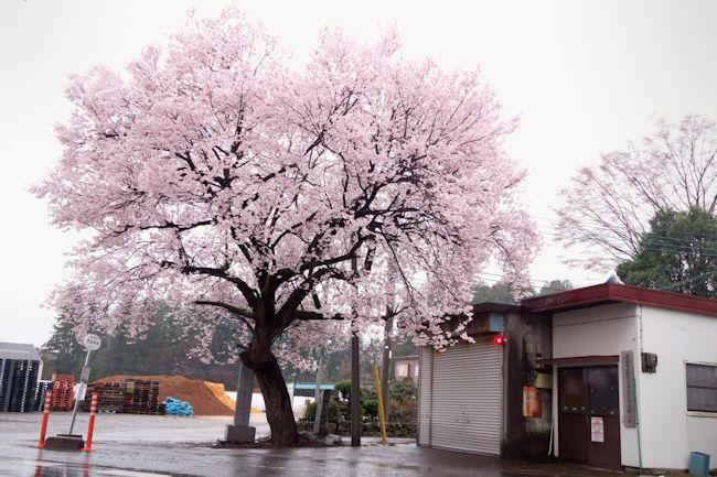 酒桜blog