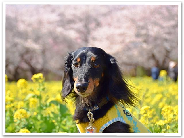 桜 【終章】