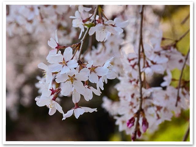 梅岩寺の枝垂桜