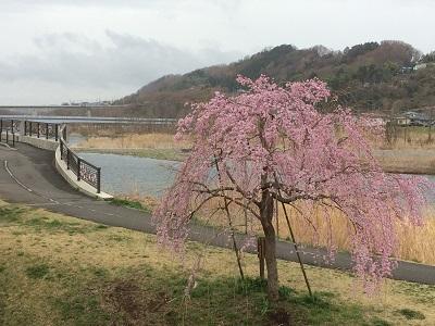 春の花04