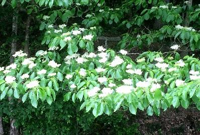 初夏の花木2