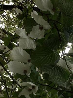 初夏の花木3