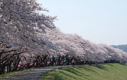 福生の桜堤