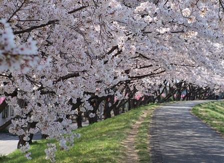 福生の桜堤1