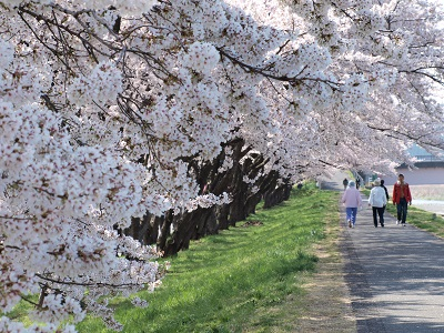 福生の桜堤2
