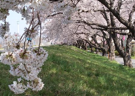 福生の桜堤3