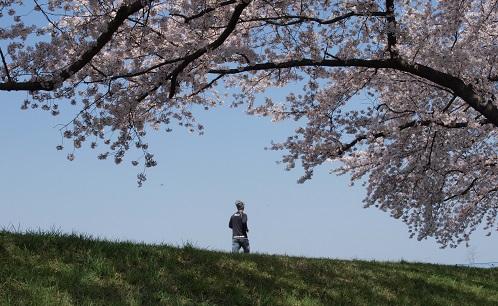 福生の桜堤4