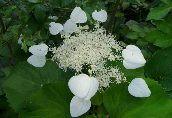 初夏の花木4
