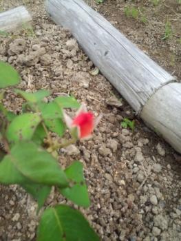 20140606アンネのバラ3