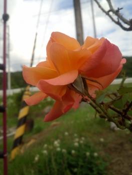 20140606アンネのバラ2