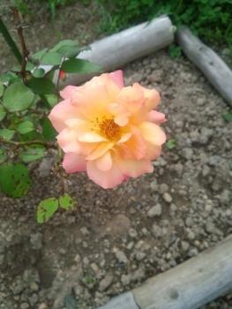 20140606アンネのバラ