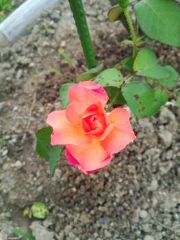 20140608アンネのバラ