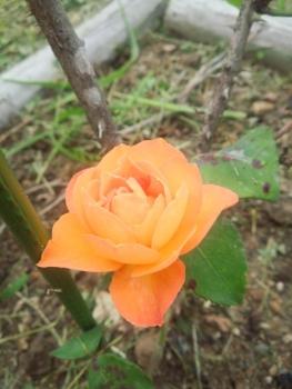 20140615アンネのバラ2