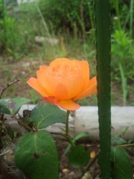 20140615アンネのバラ3