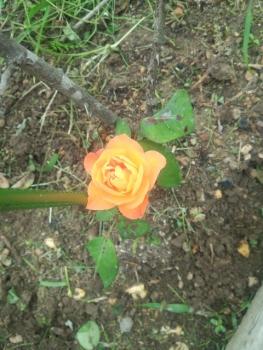 20140615アンネのバラ