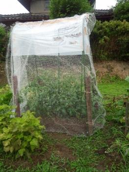 20140706トマの苗トに網をかけました