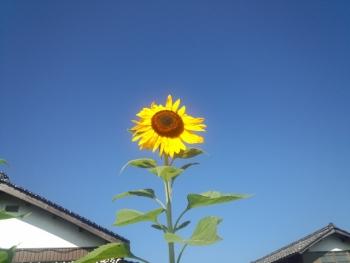 20140725ひまわり~~♪3
