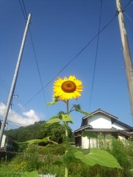 20140725ひまわり~~♪4