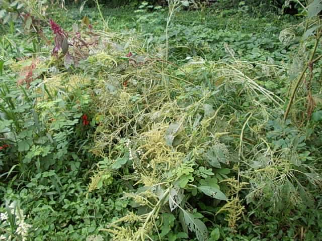 Amaranthus 20140904