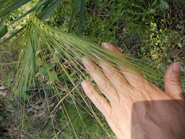 Barley 20140516