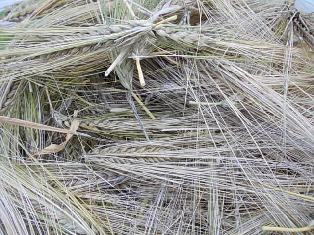 Barley for mulch 20140620