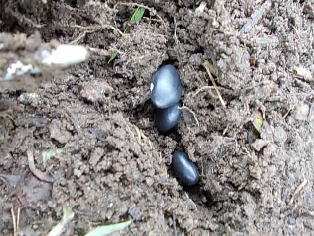 Black bean 20140605-2