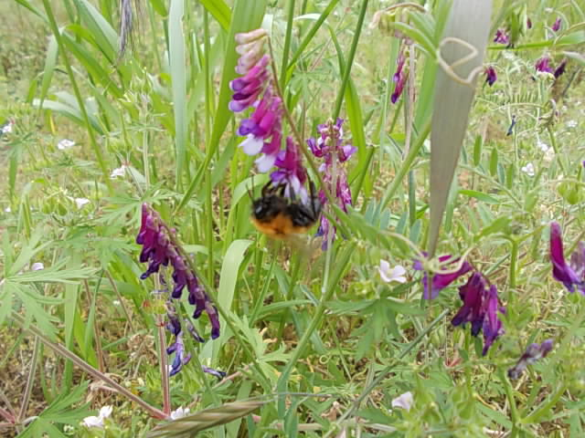Bumble bee 20140511