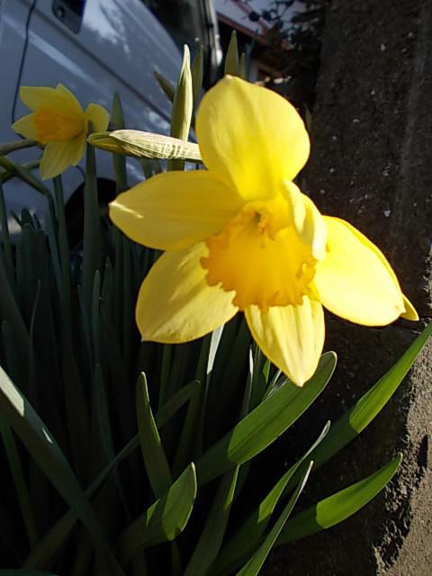 Daffodils 20140310