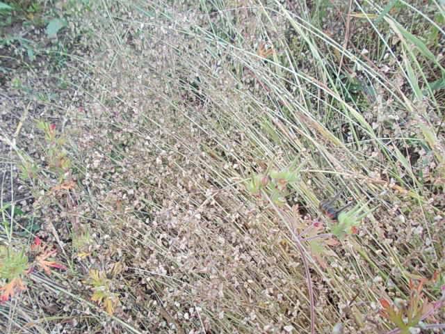 Himekobansou weed 20140524