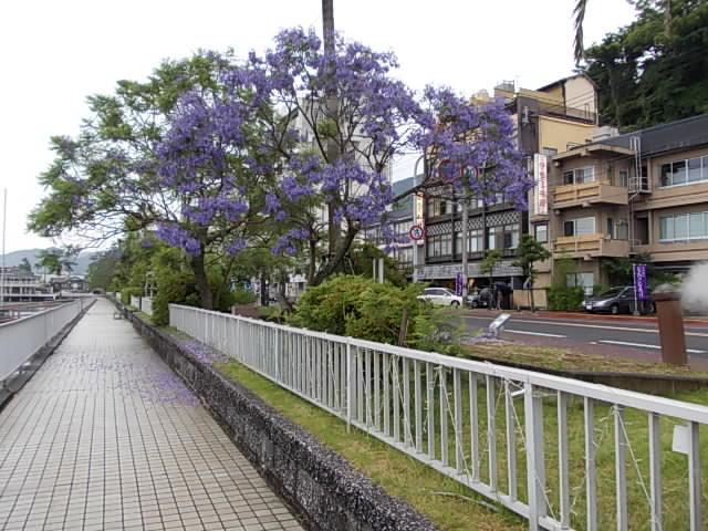 Jacaranda 20140610-2
